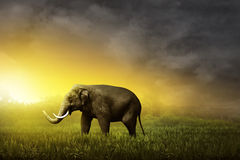 Sumatran elephant walking on the field Royalty Free Stock Photos