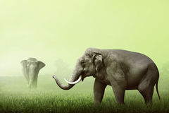 Sumatran elephant walking on the green field Royalty Free Stock Photography