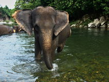 Sumatran elephant while walking in the river royalty free stock photo