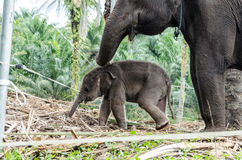 Sumatran elephants in Sumatra Indonesia Stock Image