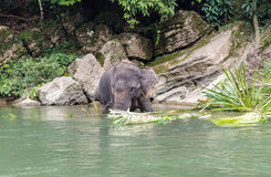 Sumatran elephants in Sumatra Indonesia Royalty Free Stock Photos