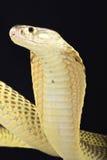 Sumatran kobra (Naja sumatrana) Fotografia Stock