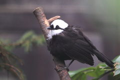 Sumatran laughingthrush Stock Images