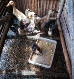 Eight ducklings stock images