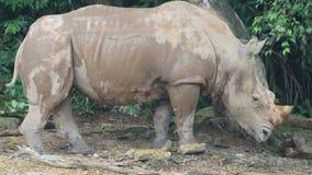 Sumatran-Nashorn ein Tier, das ausgestorben ist lizenzfreies stockbild