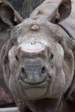 Sumatran noshörning Arkivfoto