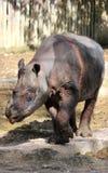 Sumatran noshörning arkivbilder