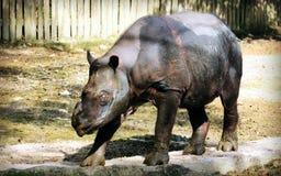 Sumatran noshörning royaltyfri foto