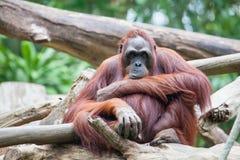 Sumatran Orang Utan Стоковое Изображение RF