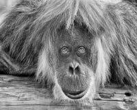 Sumatran Orang-Utan Stockfotografie