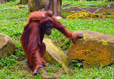 Sumatran Orang-Utan Lizenzfreie Stockfotos