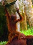 Sumatran Orang-Utan Lizenzfreies Stockfoto