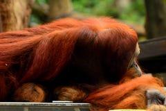 Sumatran Orang-Utan Stockbild