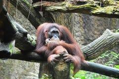 Sumatran Orang Utan Stock Photo