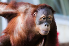 Sumatran-Orang-Utan B Lizenzfreie Stockfotografie