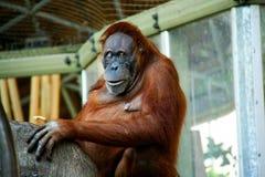 Sumatran-Orang-Utan D Lizenzfreie Stockbilder