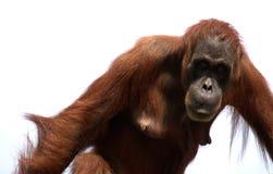 sumatran Orang-Utan, Fallhammer Lizenzfreie Stockfotos