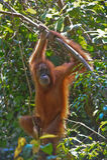 Sumatran orangutan Royalty Free Stock Image