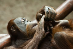 Sumatran Orangutan Royalty Free Stock Photo