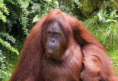 Sumatran Orangutan Stock Photos