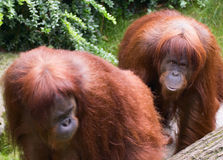 Sumatran Orangutan Stock Photo