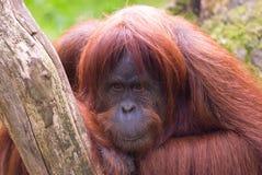Sumatran Orangutan stock image