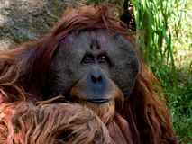 Sumatran Orangutan Royalty Free Stock Images