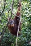 Sumatran orangutan arkivfoto