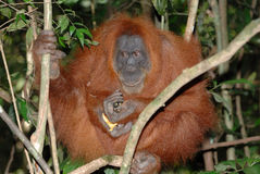 Sumatran orangutan Fotografia Royalty Free