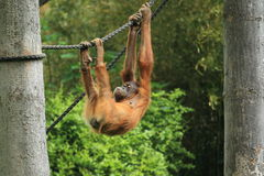 Sumatran orangutan juvenile Royalty Free Stock Photos