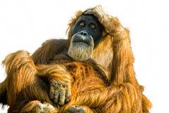 Sumatran Orangutan (Pongo abelii) cut out. Thoughtful Sumatran Orangutan (Pongo abelii) cut out Royalty Free Stock Image