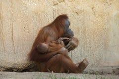 Sumatran orangutan Pongo abelii. With a newborn baby Stock Photography