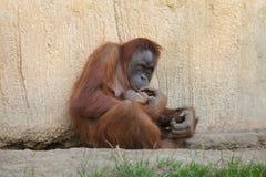 Sumatran orangutan Pongo abelii. With a newborn baby Royalty Free Stock Photos