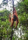 Sumatran orangutang Royaltyfri Bild