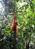 Sumatran orangutang Arkivbilder
