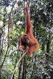 Sumatran orangutang Arkivbild