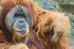 Sumatran orangutang (Pongoabeliien) Arkivfoto
