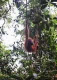 Sumatran orangutans Royalty Free Stock Photo