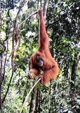 Sumatran orangutans Stock Photos
