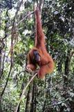 Sumatran orangutans Stock Photography