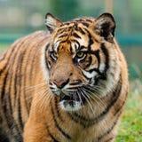 Sumatran Piękny Tygrys kierowniczy Strzał zdjęcia stock