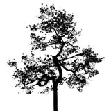 Sumatran pine tree silhouette. Sumatran pine tree silhouette black and white Royalty Free Stock Photography