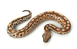 Sumatran Red Blood Python Royalty Free Stock Photos