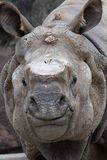 Sumatran Rhino Stock Photo