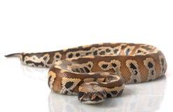 Sumatran rote Blut-Pythonschlange stockfotografie