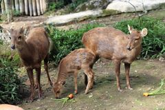 Sumatran-Rotwild lizenzfreie stockfotografie