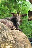Sumatran Serow Imagens de Stock