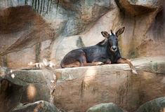 Antelope Sumatran serow Royalty Free Stock Images
