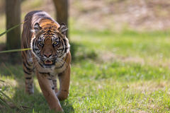 Sumatran Stalking Royalty Free Stock Image