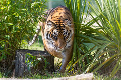 Sumatran Stalking Royalty Free Stock Images